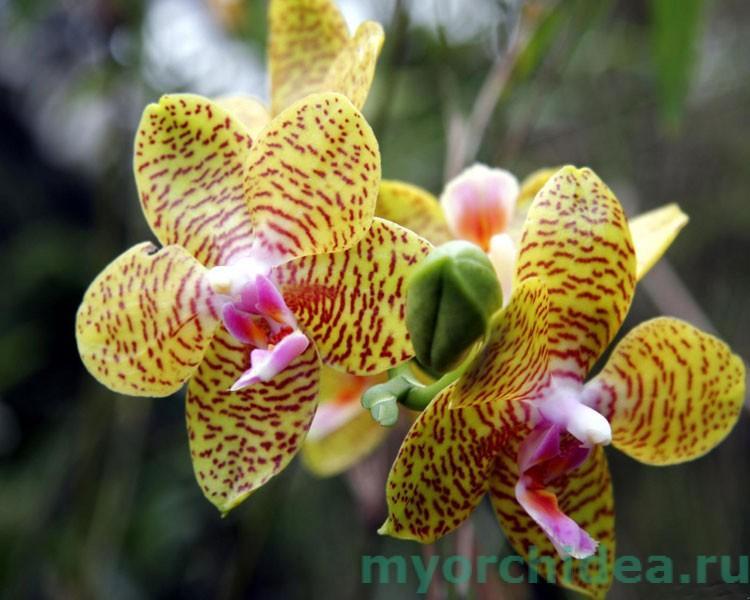 орхидея тигровая фото