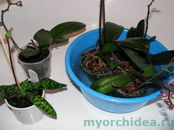 Полив орхидеи способом погружения фото