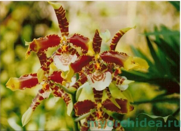 тигровая орхидея фото