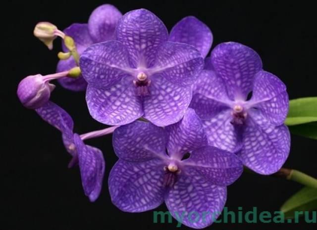 ванда фиолетовая фото