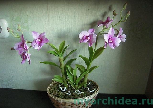 Дендробиум фаленопсис ароматный фото