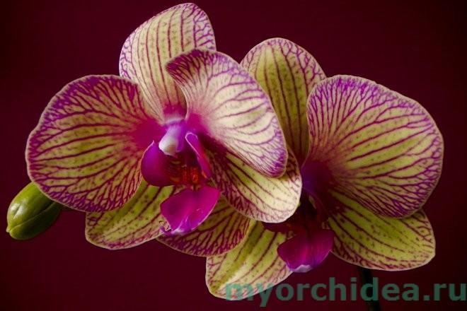 Фаленопсис гибридный фото