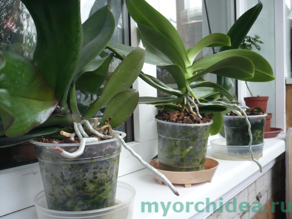Орхидеи после удачной пересадки фото
