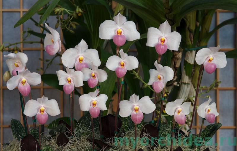 Цветущая орхидея Башмачок фото