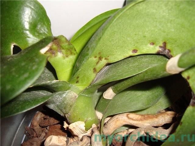 Орхидия, пораженная подуром фото
