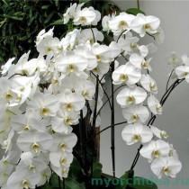 Цветущая орхидея фото