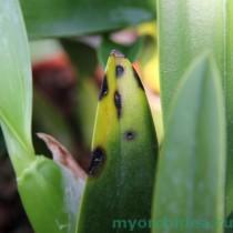 пятна на листе орхидеи