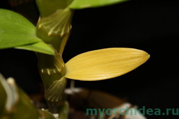 Листья орхидеи желтеют от возраста фото