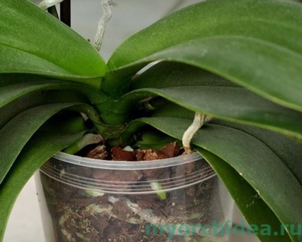 Орхидее прекрасно чувствует себя в небольшом вазоне фото