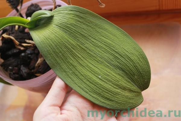 Реанимация орхидеи фото