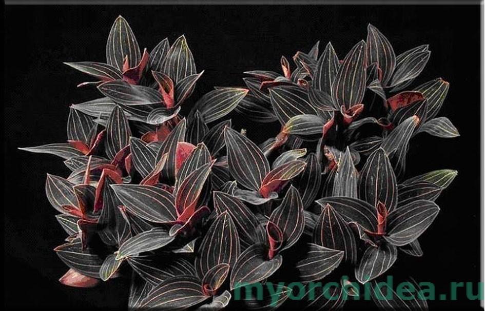 орхидея лудизия двухцветная фото