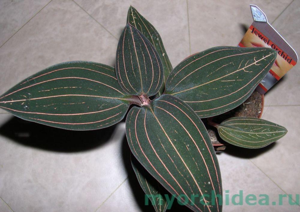 орхидея лудизия  velvet фото