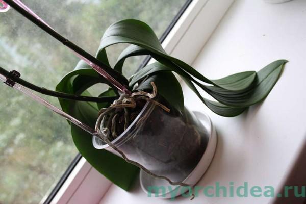 Орхидея после атаки на корневую систему фото