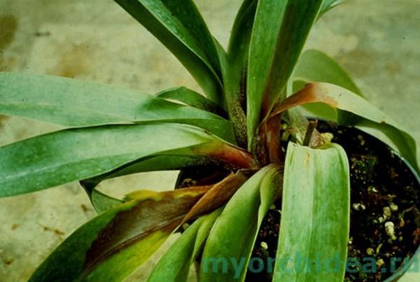Орхидею поразил грибок рода Питиум фото