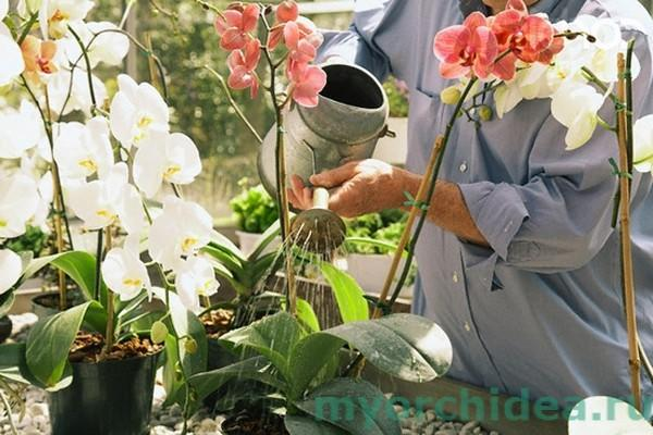 Полив орхидеи фото