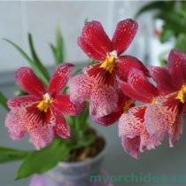 цветение камбрии фото