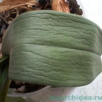 увядший лист орхидеи