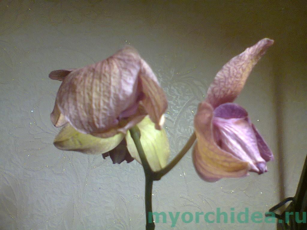 увядание цветов орхидеи фото