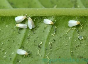 Белокрылка на листке растения