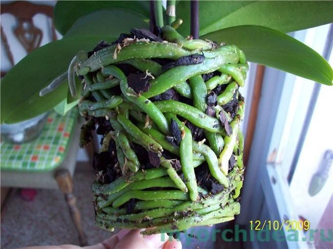 здоровые корни орхидеи фото