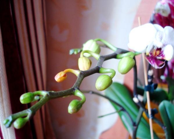 орхидея Фаленопсис бутоны