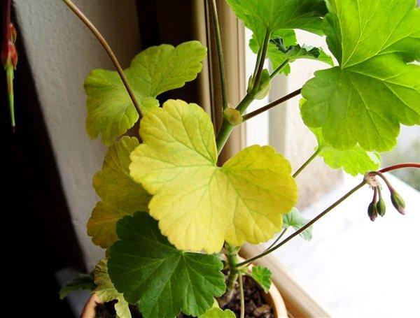 герань, пожелтение листов