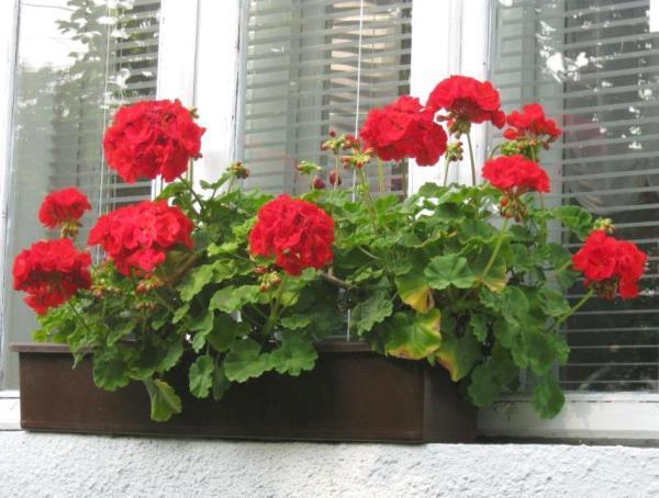 Комнатная герань на балконе