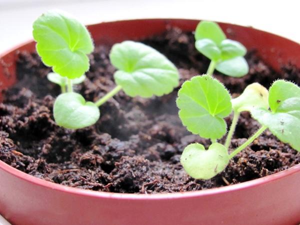 выращивание пеларгоний из семян