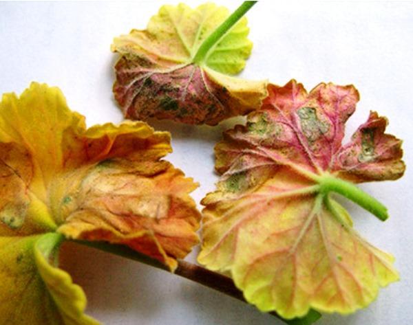 Почему у герани сохнут листья: причины и меры