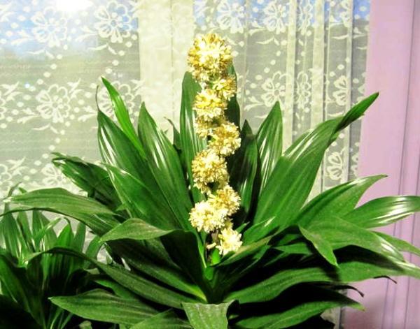цветение драцены фрагранс