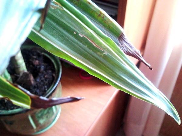 Почерневшие кончики листьев у драцены