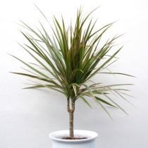 Молодое растение драцены Маргината