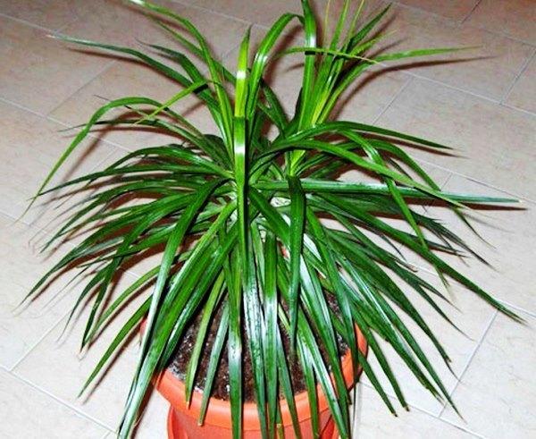 Здоровое растение драцены маргината