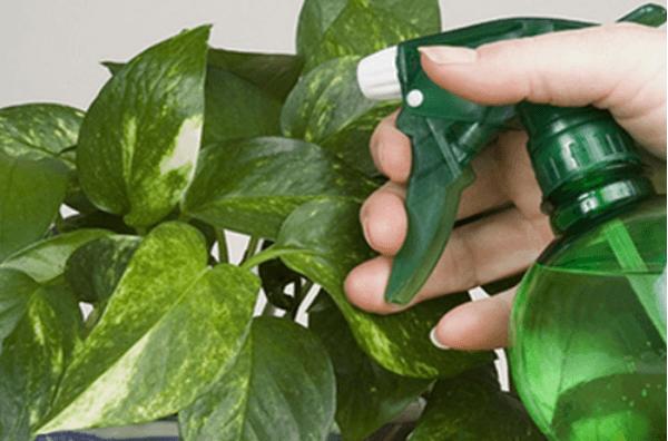 Опрыскивание листков растения мыльным раствором