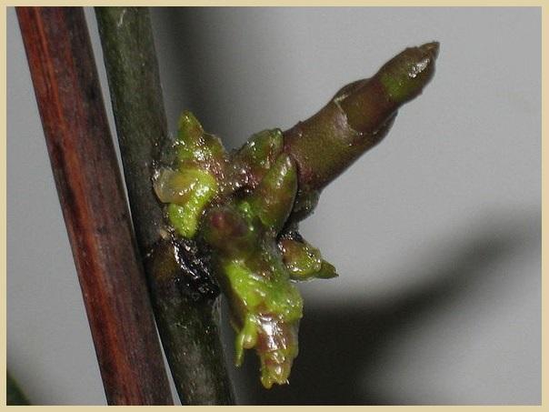 Цитокининовая паста на черенке орхидеи