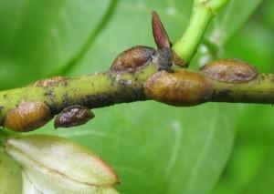 Щитовка на стебле растения
