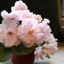 Фиалка с цветами розового цвета