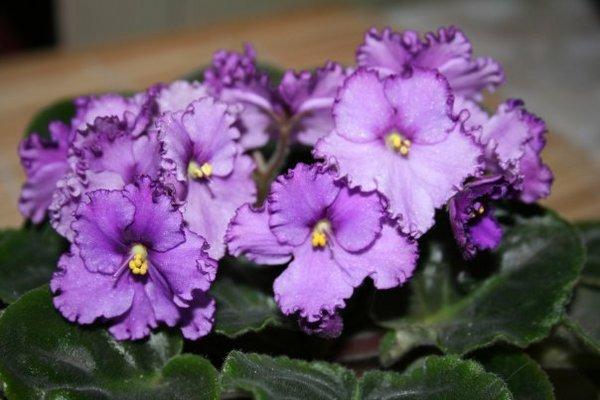 Фото цветущей фиолетовой фиалки
