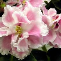 Нежная фиалка вида Розовая акварель