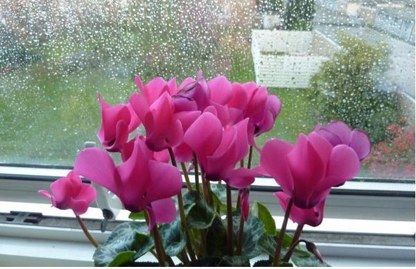 Фото альпийской сенполии у окна