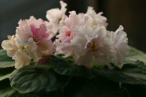 Фиалка сорта Розовый зефир