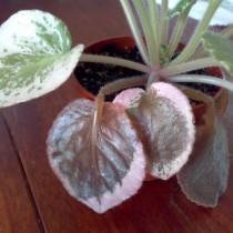 Гнилые листья на сенполии