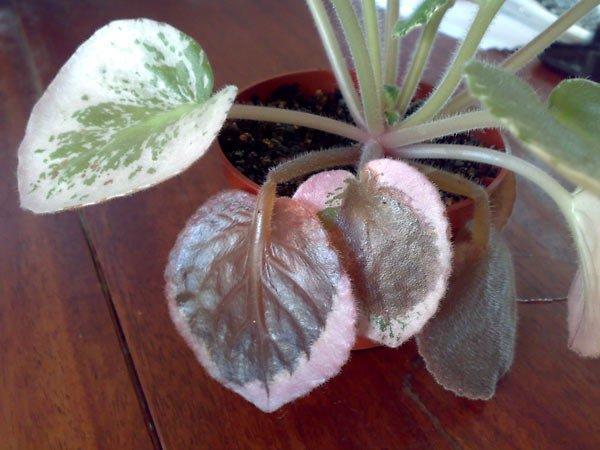 Сенполия с гнилыми листьями