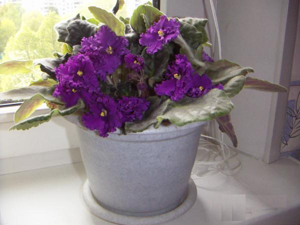 Фиолетовая комнатная махровая фиалка