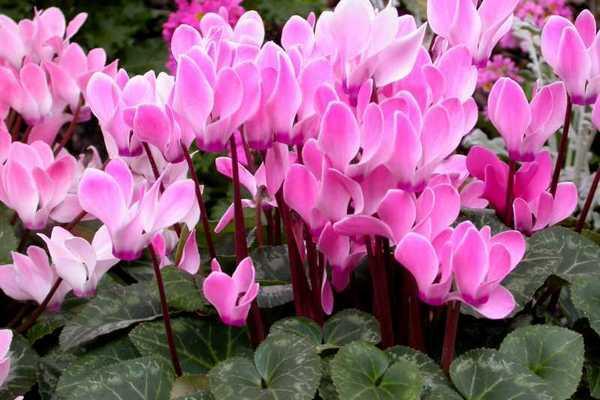Розовые цветки альпийских сенполий