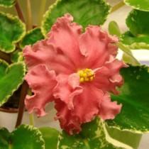 Цветок фиалки сорта Шикарный мак