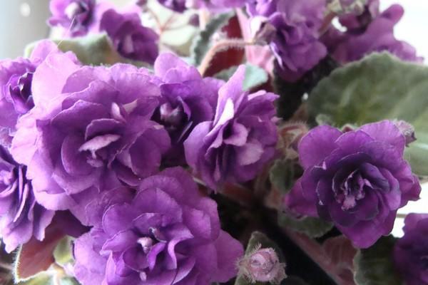 Махровая, фиолетовая комнатная фиалка