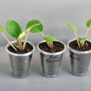 Фото листков сенполии в стаканчиках