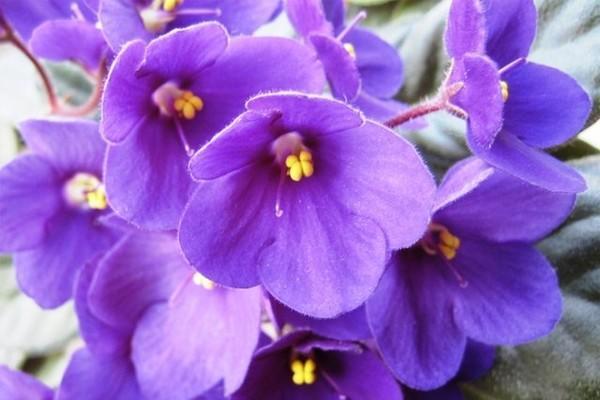 Фото фиалки лилового цвета