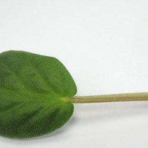 Фото срезанного листа сенполии